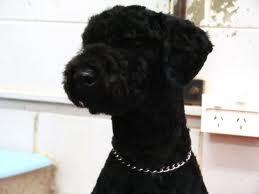 blackpoodleimages