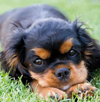 cuter black and tanCavalier-King-Charles-Spaniel